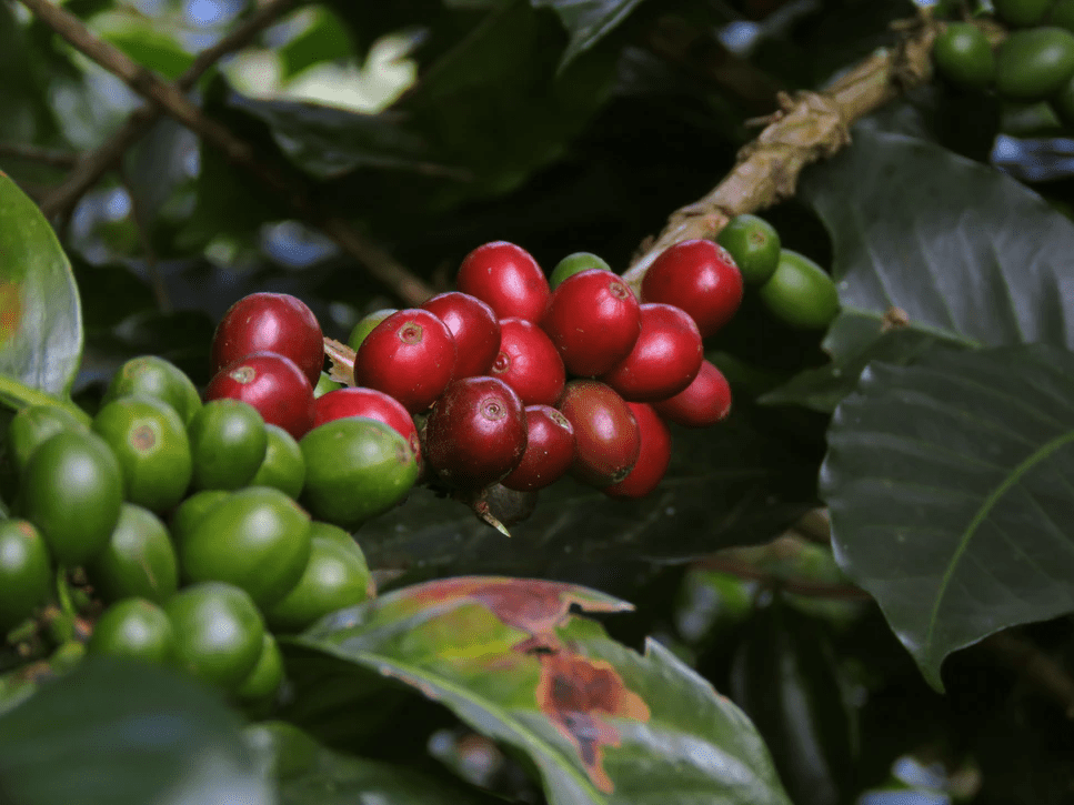 How Long Does It Take For A Coffee Plant To Grow